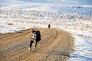 Australian Shepherd dog,  taking walk with master, Wilsall, Montana, MODEL RELEASED, PROPERTY RELEASED