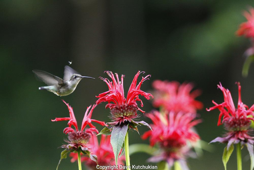 female humming bird at beebaum
