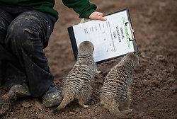 © Licensed to London News Pictures. 03/01/2017. London, UK. Zookeeper Veronica Heldt counts Meerkats at the London Zoo annual stocktake. Photo credit: Rob Pinney/LNP