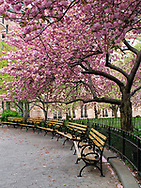 Cherry blossoms at the American Museum of Natural History at the 77th streeet entrance, New York City.