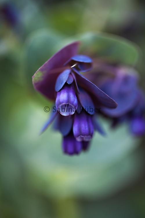 Cerinthe major 'Purpurascens' - honeywort