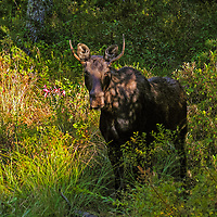 A young bull moose in the fall in New Hampshire. <br />