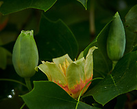 Tulip Tree flowers. Image taken with a Nikon D850 camera and 200-500 mm f/5.6 VR lens.