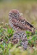 Burrowing Owl, Athene cunicularia, Cape Coral, Florida