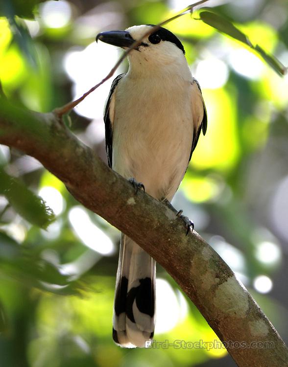 Hook-billed Vanga, Vanga curvirostris, Madagascar, by Paul Ellis