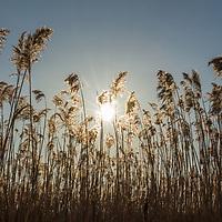 Prairie grass in the  setting sun