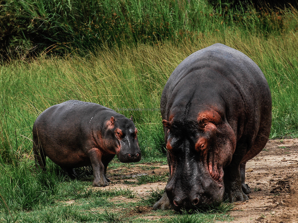 Hippopotamus and calf, South Africa.<br />