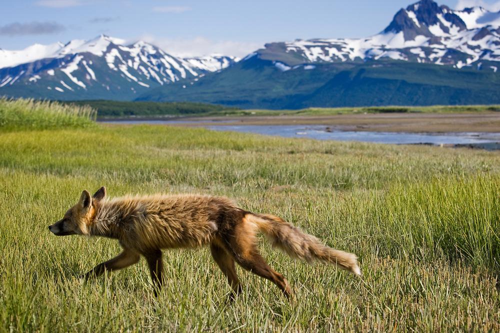 USA, Alaska, Katmai National Park, Red Fox (Vulpes vulpes) walking in meadow along Hallo Bay on summer morning