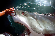 Great White tries to attack Motor on Back of Boat<br /> <br /> Approximately eight kilometers off the coast of Gansbaai, quite close to Dyer Iceland / South Africa, a great white shark tried to attack the outboard motor of our boat.<br /> <br /> The touch-sensitive area of the nose of the shark has unusual consequences: The shark opens its mouth and is relatively far from the water. In slow motion, it remains for a moment, then again to return back to his element ..<br /> ©Klaus Jos/Exclusivepix