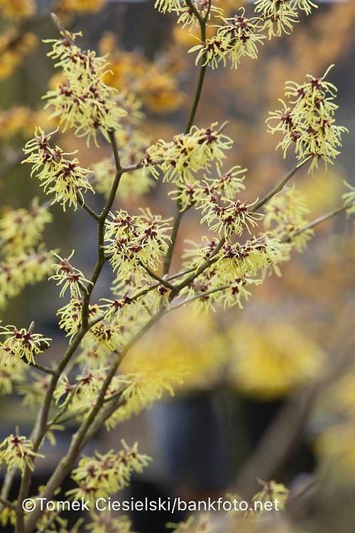 Hamamelis x intermedia `Primavera`