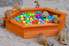 Meerkats in ball pool | Edinburgh | 16 August 2016