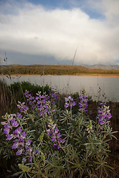 """""""Lupine at Boca Reservoir"""" - These small lupine flowers were photographed at Boca Reservoir, near Truckee, California."""