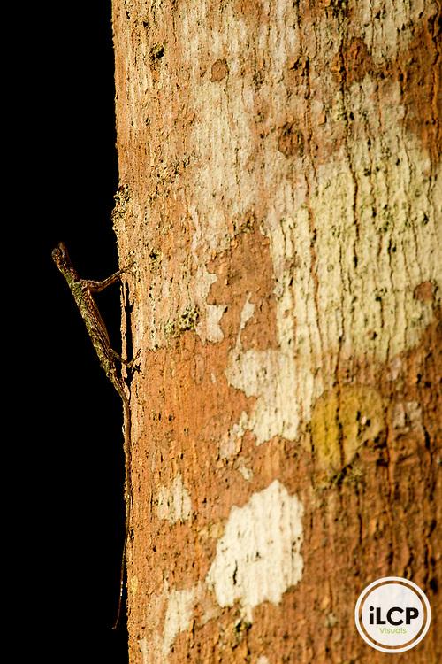 Flying Dragon (Draco sp) lizard on tree trunk, Tawau Hills Park, Sabah, Borneo, Malaysia