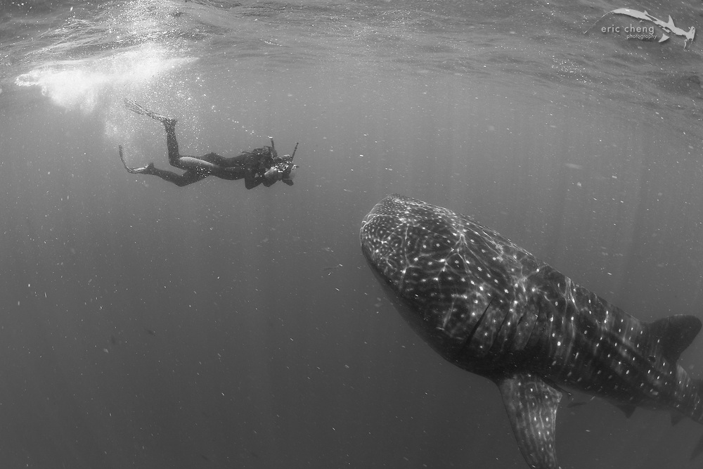 Photographer Sterling Zunbrunn dives down to take a picture of a whale shark. Isla Mujeres, Mexico.