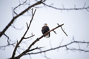 Bald eagle in bare tree