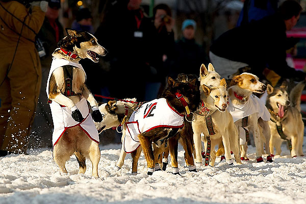04 March 2006: Anchorage, Alaska - An excited lead dog of Aliy Zirkles' team looks back at his owner prior to the Ceremonial Start in downtown Anchorage of the 2006 Iditarod Sled Dog Race