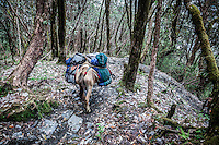 Pack mule making its way down the steep rocky landscape of the Annapurna Dhaulagiri trail.