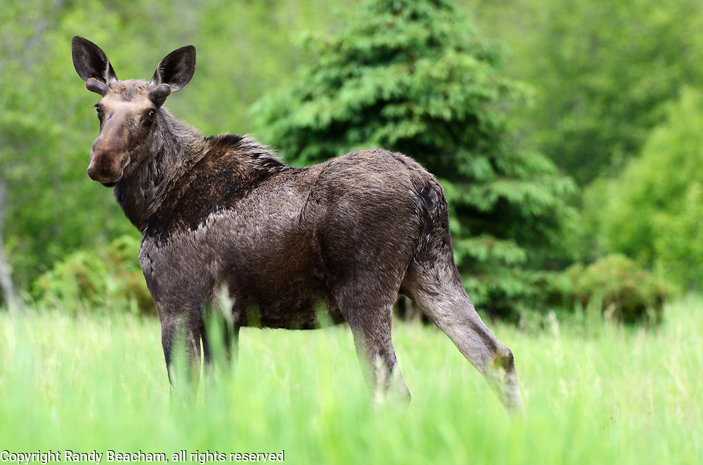 A bull moose with new antler growth in spring. Yaak Valley in the Purcell Mountains, northwest Montana.