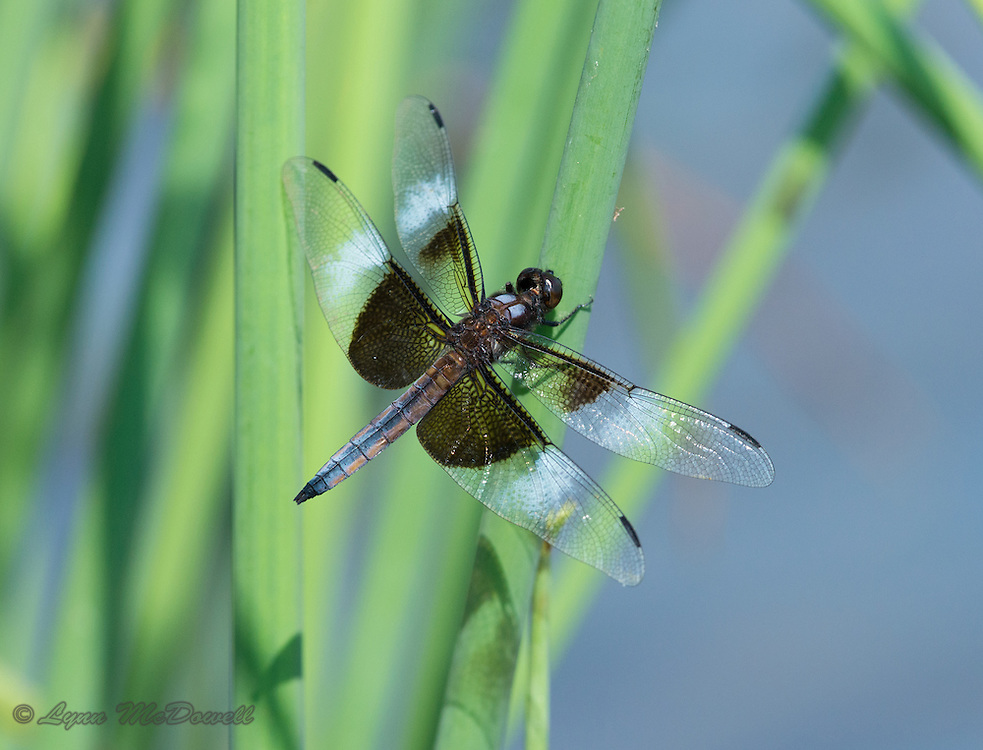 Widow Skimmer Dragonfly catching the light