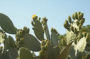 Cactus - opuntia - Israeli symbol