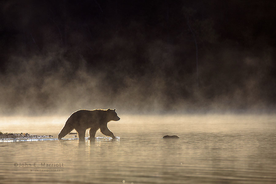 Grizzly bear, Chilcotin, BC