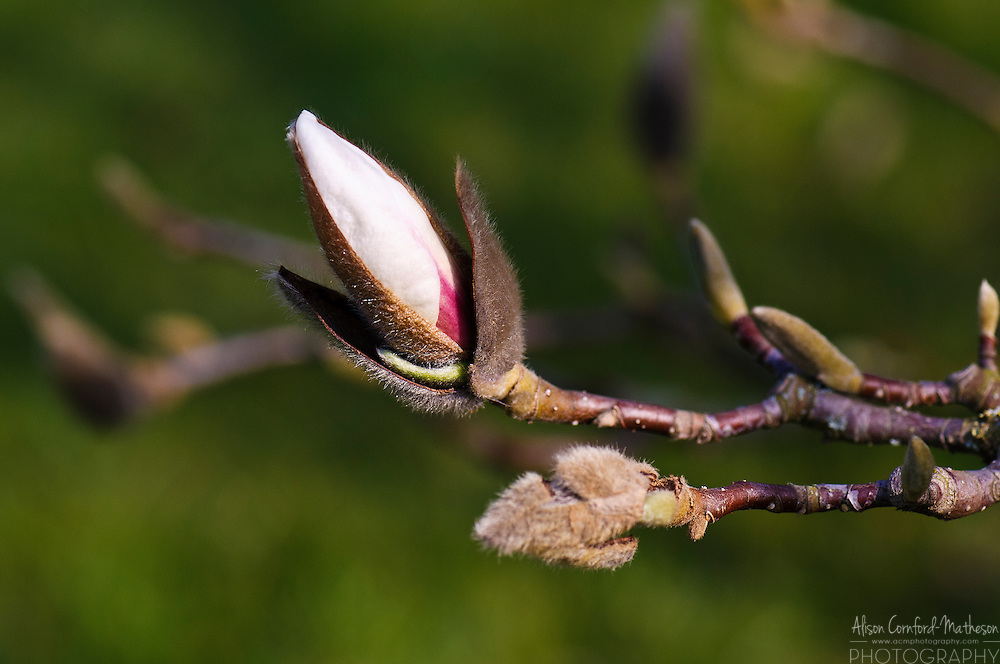 "Magnolia Denudata ""Purple Eye"" in bloom at the National Botanical Garden of Belgium, in Meise."
