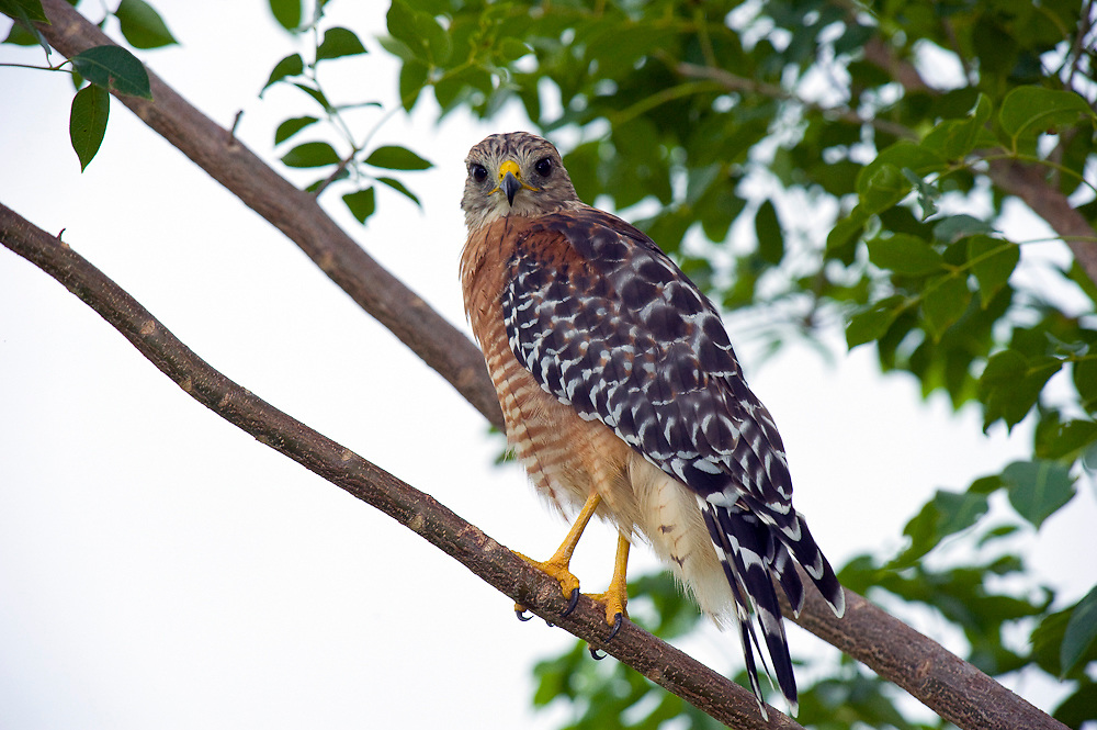 Wild, non-captive, non-habituated Red-shouldered Hawk (Buteo lineatus) in Everglades National Park, Florida