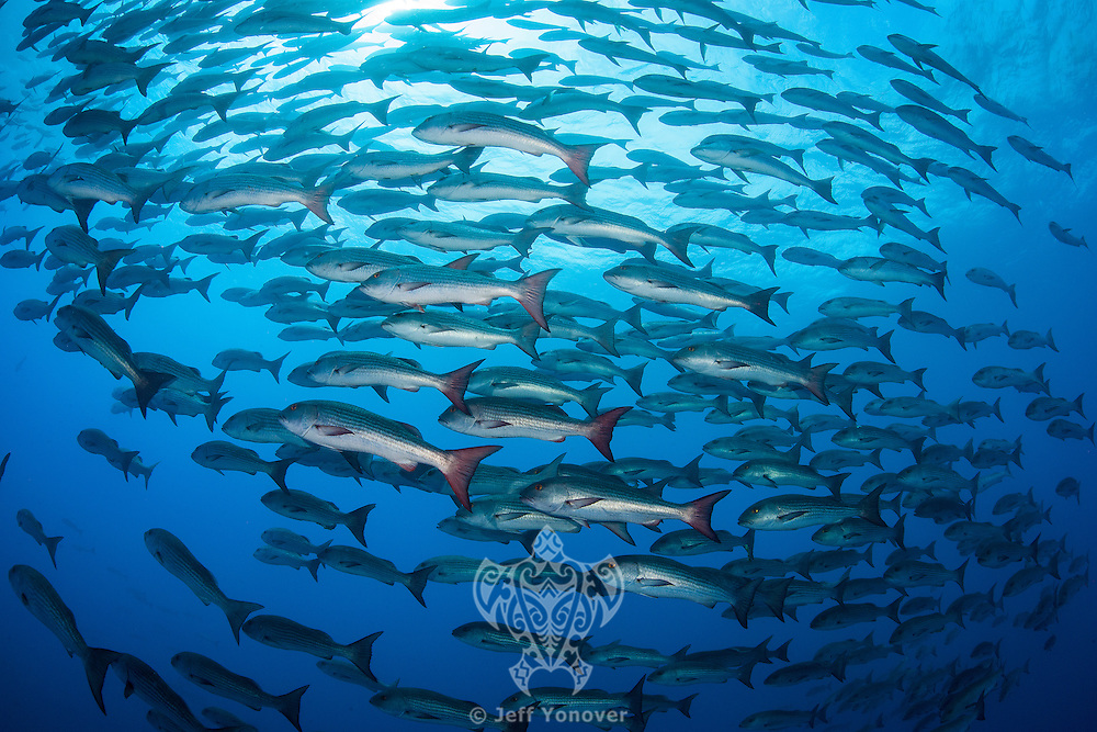 A large school of Mullet Snapper<br /> <br /> <br /> Shot at Cocos Island, Costa Rica