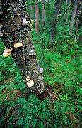 Conks on birch tree. Central Brooks Range, north of Bettles, Alaska