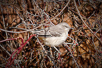 Northern Mockingbird. Late Autumn Backyard Nature in New Jersey.