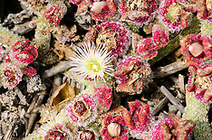 IJskruid, Mesembryanthemum-crystallinum