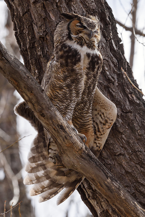 Great Horned Owl (bubo virginianus), Boulder County, Colorado