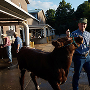 Chuck Obrecht, from Harlan, Iowa, takes his short-horn Charolais  to the cattle barn after giving it a bath at the Iowa State Fair in Des Moines, Iowa, in August of 2008.  Obrecht would show his prize cow later that day.
