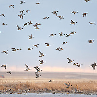 northern pintail flock rises above wetlands and pond on their way to feed