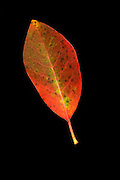 The leaf of a balck tupelo (Nyssa sylvatica) in fall.