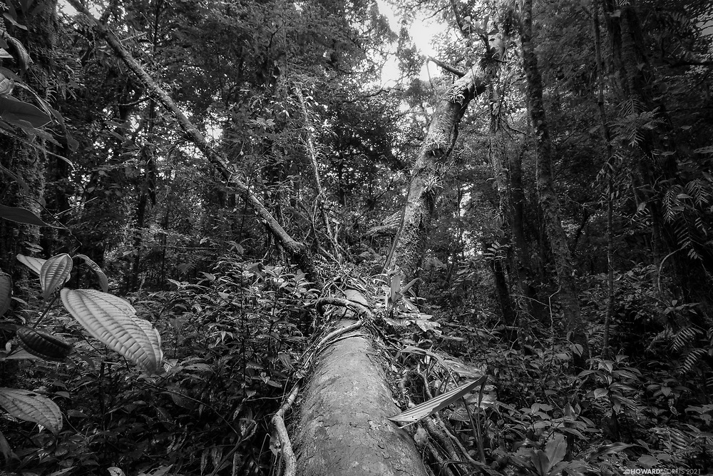 The remains of a fallen tree after a storm. Monteverde Cloud Forest Reserve, Costa Rica.