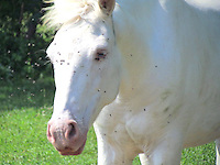 White horse with flies on face. Her name is Pixie. She is 5 years old.