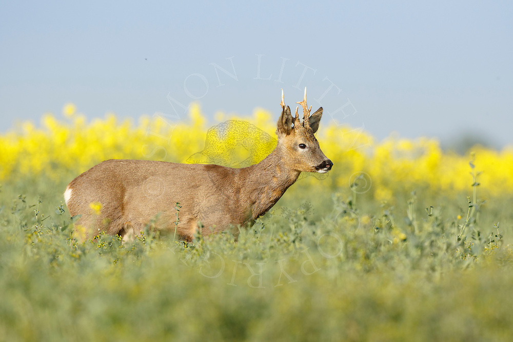 Western Roe Deer (Capreolus capreolus) male in oilseed rape crop, South Norfolk, UK. May.