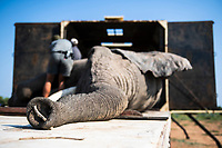 African elephant bull capture and translocation, Marataba Private Game Reserve, Limpopo, South Africa