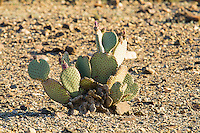 A beavertail cactus in the Picacho Peak Wilderness Area in the Sonoran Desert in Southern California showing the developing fruits on the top of the pads. You can still see the dried up flowers that have yet to fall off since they were pollinated.