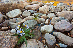 The Swift River in New Hampshire's White Mountains.  Albany, New Hampshire. Purple asters. Fall.