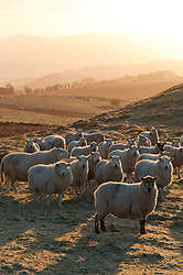 © Licensed to London News Pictures. 02/01/2019. Builth Wells, Powys, Wales, UK. Sheep wait for the farmer to bring food on the Mynydd Epynt moorland near Builth Wells in Powys, Wales, UK. Temperatures dropped overnight to minus 3.5 degrees centigrade in Powys, Wales, UK. credit: Graham M. Lawrence/LNP