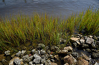 Grass growing along the shoreline of the White Oak River in Swansboro.