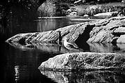 Bird on a Rock, Central Park, New York