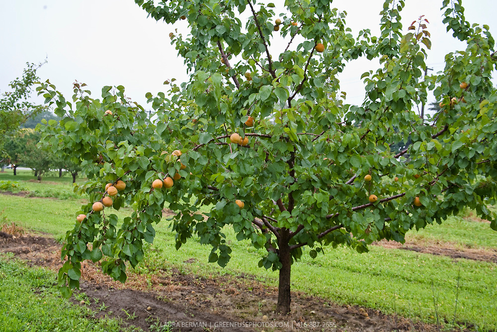 Apricot trees in an orchard with ripe fruit.