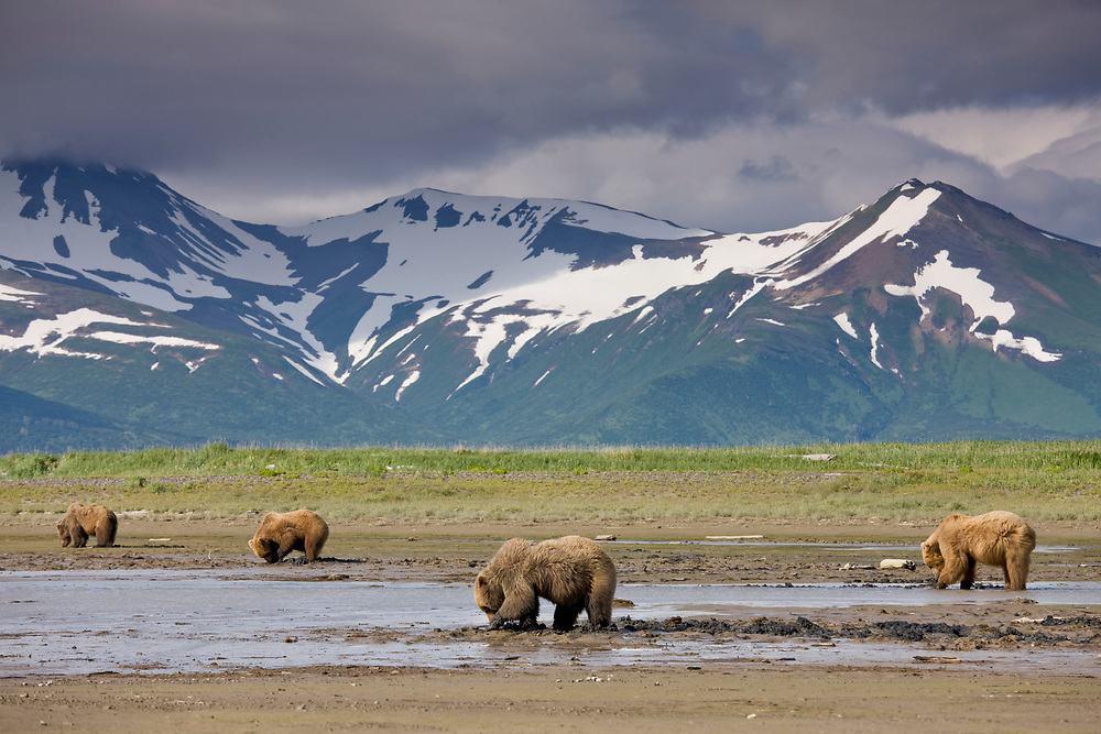 USA, Alaska, Katmai National Park, Hallo Bay, Brown Bears (Ursus arctos) digging for clams in tidal mud flats along Hallo Bay