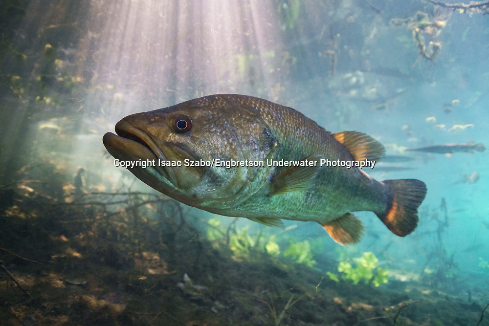 Florida Largemouth Bass<br /> <br /> Isaac Szabo/Engbretson Underwater Photography