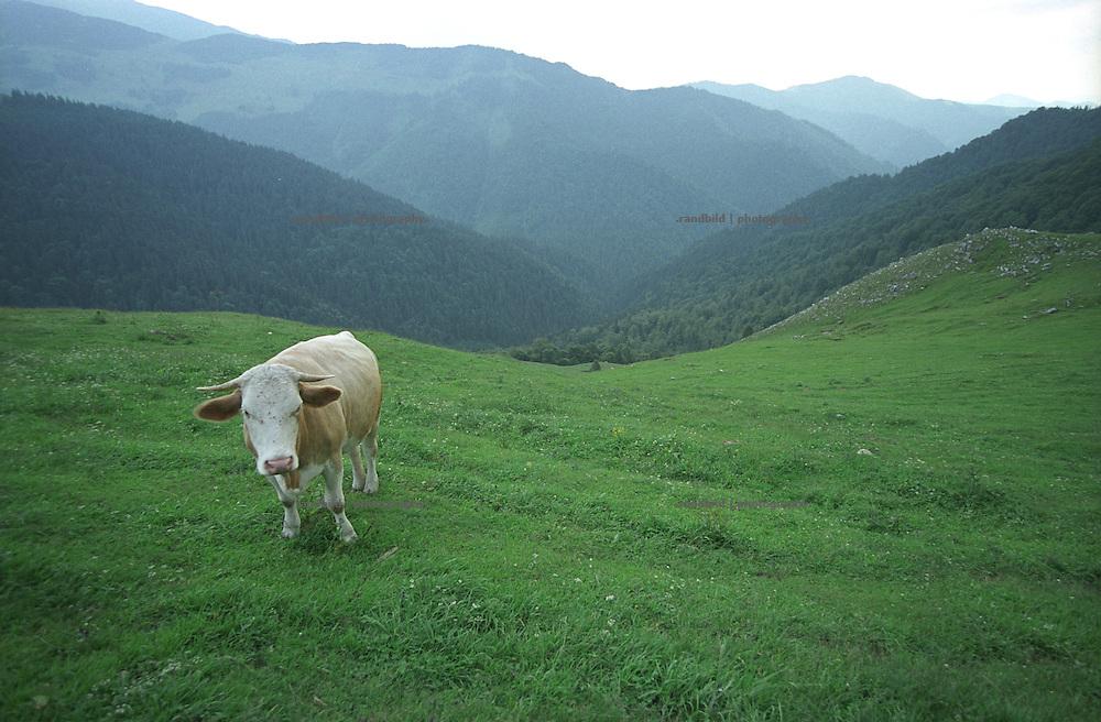 Ein Kuh auf einer Bergweide in den nördlichen Karparten Rumäniens. ..A cow on a mountain meadow in the northern carpartian mountain range of Romania.