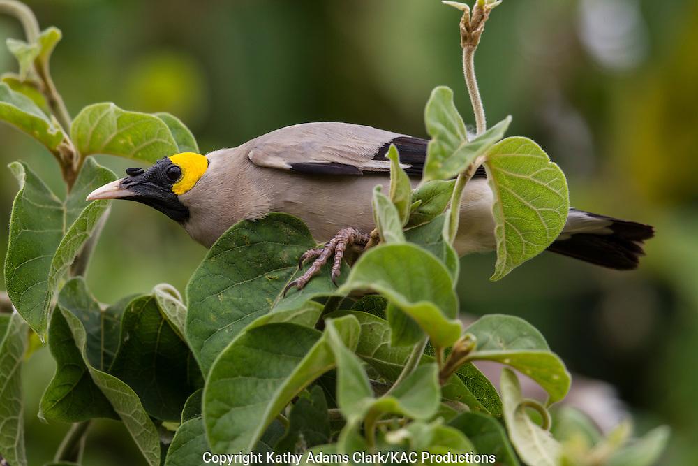 Wattled Starling, Creatophora cinerea, Ngorongoro creater, Ngorongoro Conservation Area, Tanzania, Africa.