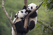 Giant Panda<br /> Ailuropoda melanoleuca<br /> 6-8 month-old cubs playing in tree<br /> Chengdu Research Base of Giant Panda Breeding, Chengdu, China<br /> *captive
